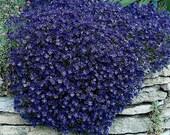 50 - Rock Cress Seeds - Cascading Blue  - Heirloom Rock Cress, Non-GMO Rock Cress, Groundcover Seeds, Perennial Seeds, Blue Flower Seeds!