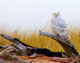 Snowy white Owl on Driftwood Fine Art Digital Nature Photography