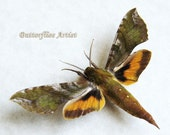 Sphinx Xylophanes Pluto Real Moth From Peru In Shadowbox