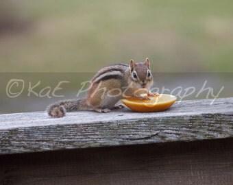 "Chipmunk Feeding on Orange   5"" x 7"" Print"