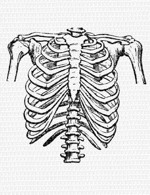 Rib Cage Line Drawing Human Rib Cage Frontal