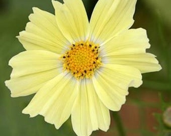 Cosmos Flowers Seeds ,YELLOW ,One of the most popular annuals Flowers to grow !