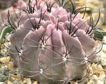 Neochilena Jussieu Cactus Plant