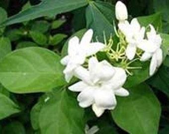 Fragrant White Flowering Arabain Jasamine Plant