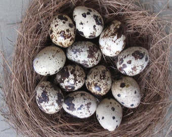 Ready to ship 14+2 Spares (16 total) Hand Blown Free Range Quail Eggs  One Hole