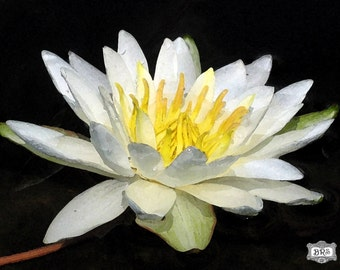 White Water Lilly Watercolor Print 8x10