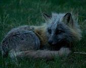 Photo of Fox in the Grass, Wildlife Photography, Fox Photography, Fox Photo, Animal Photo, Wildlife Photo, Nature Photo, Fox Art,  4x6-24x36