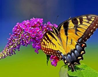 eastern tiger swallowtail- Photo Print