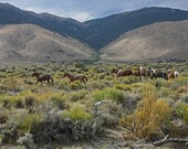 Wild Mustangs of northern Nevada 8X12 inches