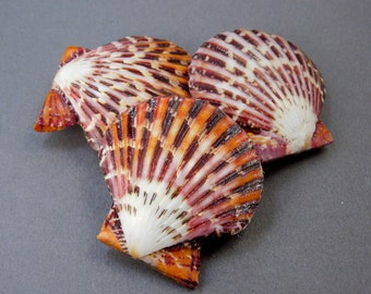 Beautiful Pecten Pallium Whole Shell (RK5B3a)