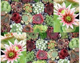 50 x Hen & Chicks Cactus Mixed Seeds - Sempervivum - HARDY PERENNIAL - GORGEOUS House Leeks Seed - Zones 5 - 9