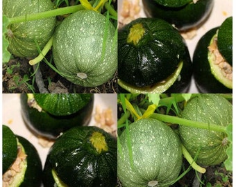 ROUND ZUCCHINI Squash seed - Very PRODUCTIVE - Perfect 4 stuffing - Heavy producer Bush Type Plants - 45 - 55 Days