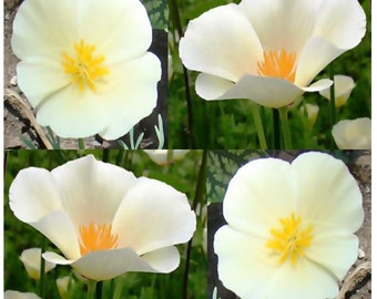 WHITE LINEN CALIFORNIA Poppy Flower Seed ~ Eschscholzia californica - White Flowers - Zones 3-9