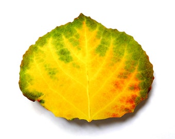 Green, Orange, Red, & Yellow Aspen Leaf Barrette