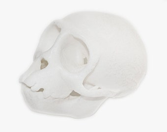 Monkey Skull Replica Educational Model 3D Printed Art from CT Scan
