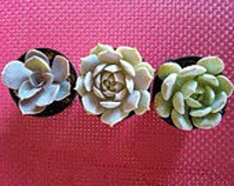 Small Succulent Plant Trio of Succulents
