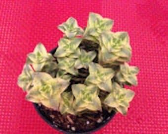 Medium Succulent Plant Crassula Perforata Variegata