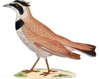 Bird Lark Wild World Nature Birds Digital Image Instant Download Art Fabric Transfer Iron On - item no 38