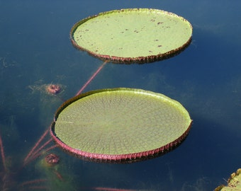 Victoria Giant Water Lilies Photo