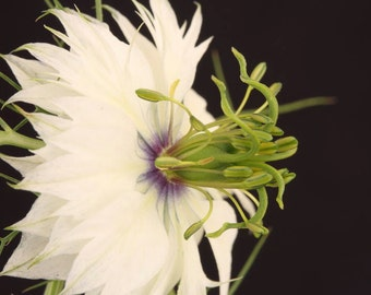 Flower Seeds - LOVE IN A MIST