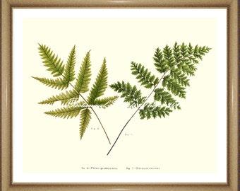 "Fern Print No.26. Pteris Fern. Botanical Prints. Fern Prints. Fern Wall Art, 8x10"""