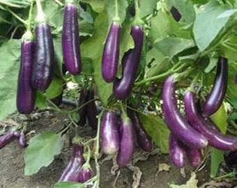 20 Brinjal vegetable, Bengan seeds