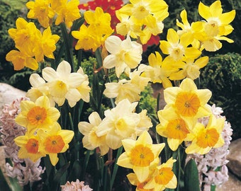5 mixed Daffodil & Narcissus bulbs ~Woodland gardens ~Naturalize ***PRE CHILLED for indoor forcing *Ready for Spring Planting