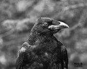 Black Raven Portrait, Black and White, Nature Photography, Gothic Wall Decor, Bird Photography, Dark Fine Art Print, Crow Print