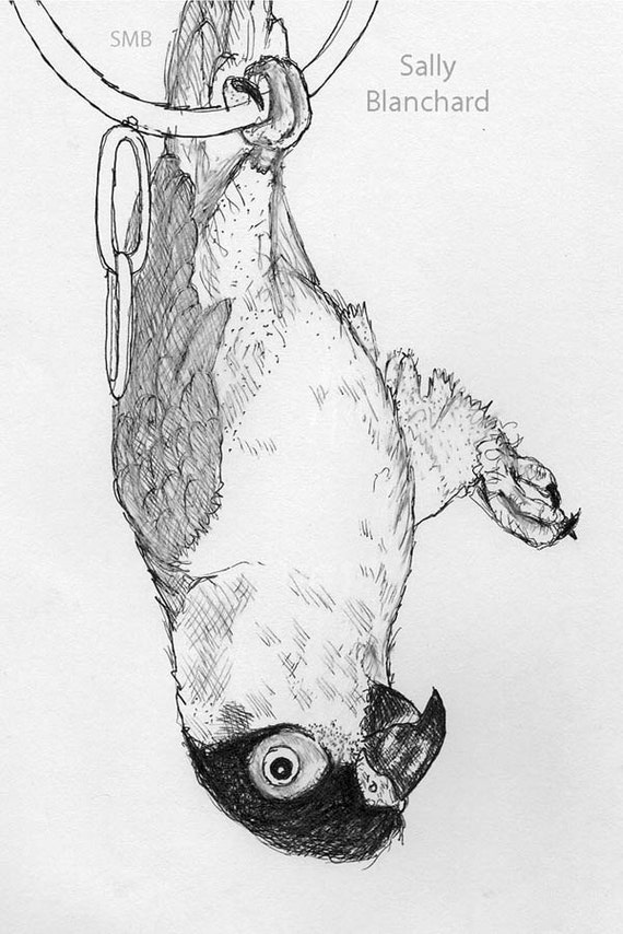 Sally Blanchard Original Black-headed Caique Playing Upside down Pen and Ink Drawing