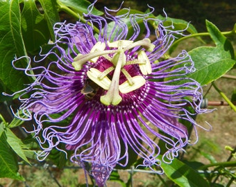 Passiflora Incense Maypop Passiflora Incarnata X Passiflora Cincinnata Purple Passion Flower Crucifix Flower Guaranteed Live Plant