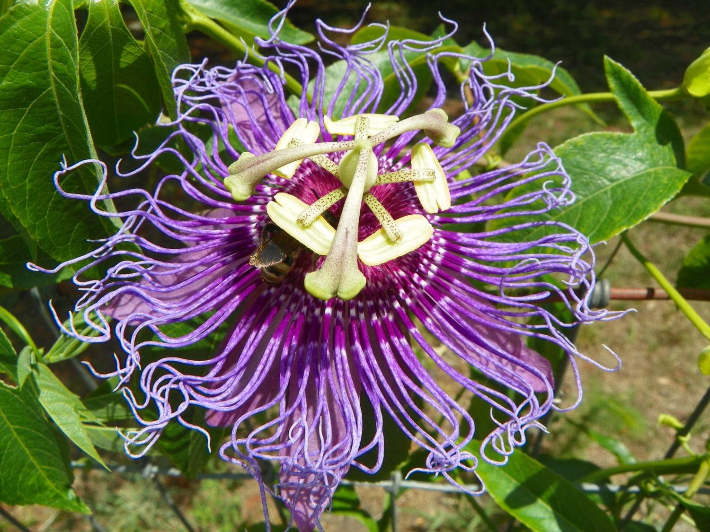 Passiflora Incense Maypop Passiflora Incarnata X Passiflora