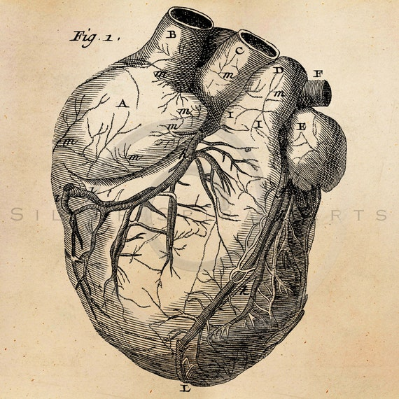 Vintage Anatomical Drawing Vintage Heart A...