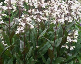 Husker Red Beardtongue Flower Seeds / Perennial   50+