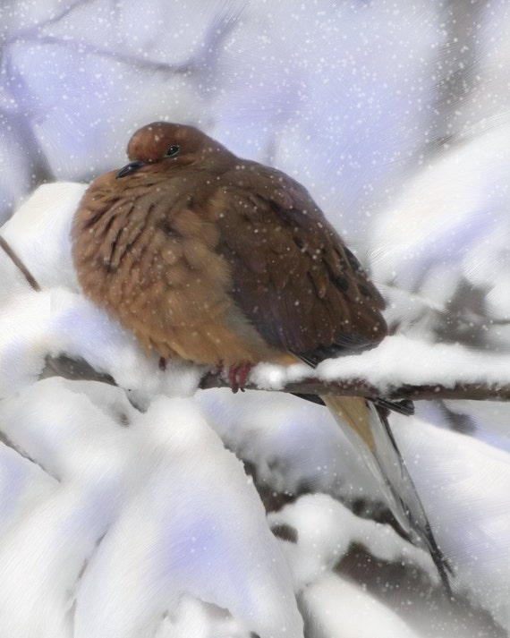 Dove Art Fluffy Peaceful Mourning Dove in Snow Bird Artwork Giclee print from original digital painting 8 x 10