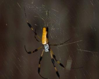 DazzleMe Photo 1409 Garden Spider Golden Orb Weaver 8 x 10 LK - Banana Betty