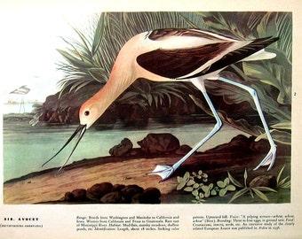Surf Scoter, Avocet -Audubon Birds 12 x 9 - 1942 Vintage Book Page