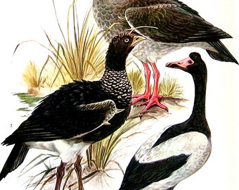 Bird Print - Screamer, Whistling Duck, Tree Duck - 1968 Vintage Print - from Encyclopedia