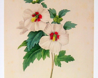 Botanical Print - Hybiscus syriacus - Redoute 1979 Vintage Flowers Book Plate  p140
