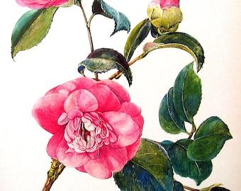 1968 Vintage Flowers Book Plate Camellia p42