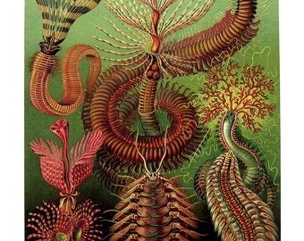Cystoids Ernst Haeckel Art Print 1990 Vintage Book Plate P95