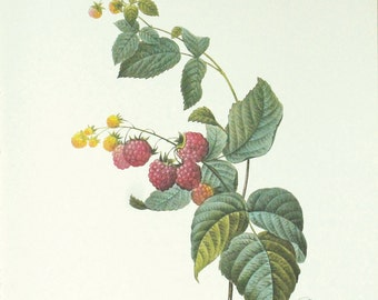 Antique Botanical Print, Blackberries
