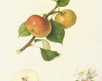 Vintage Fruit Print - Apple Print - Syke House Apple - Hookers Finest Fruits - Vintage Kitchen Wall Art - William Hooker - 1800