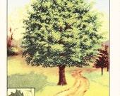 1926 Botany Print - Sugar Maple Tree - Vintage Antique Book Art Illustration Nature Natural Science Great for Framing