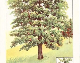 1926 Botany Print - Avocado Tree - Vintage Antique Book Art Illustration Nature Natural Science Great for Framing