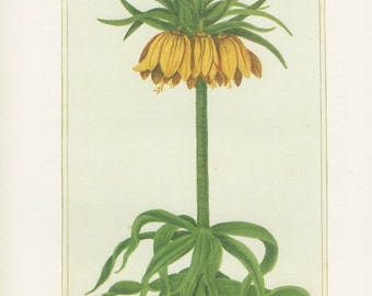 Crown Imperial, Yellow Lily, Kaiser's Crown, Plate 30, 1703 Botanical Painting,1983 Vintage Flower Print