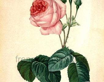 antique french botanical illustration pink roses DIGITAL DOWNLOAD