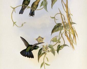 John Gould Hummingbird Vintage Print Book Plate SALE~~Buy 3, get 1 free.