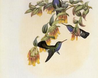 Vintage Hummingbird Print by Gould Book Plate Sale,Buy 3, get 1 Free