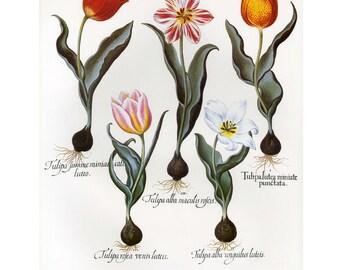 Besler Forilegium Botanical Tulips, SALE Buy 3, get 1 Free