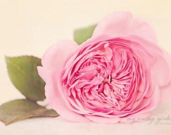 pink garden rose -flower photography -flower photo-cottage garden photography (5 x 7 Original fine art photography prints) FREE Shipping)